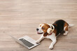 Cute Beagle dog with headphones and laptop at home