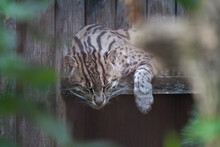 Detail Shot Of A Fishing Cat, Prionailurus Viverrinus, Sleeping On A Wooden Bench With Its Head And Paw Hanging Down Low. Medium-sized Wild Cat Of South And Southeast Asia.