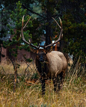 Large Elk With Antlers Staring At Camera As It Eats Foliage And Grass