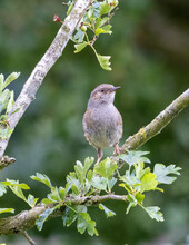 Young Dunnock Sparrow In A Tree.