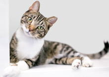 A Tabby Shorthair Cat With Its Left Ear Tipped, Lying Down And Looking At The Camera With A Head Tilt