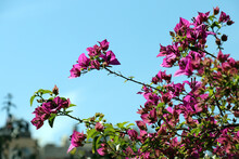 Selective Closeup Of Beautiful Bougainvillea Flowers On A Sunny Day