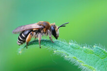 Closeup Of A Female Of The Small Gorse Mining Bee, Andrena Ovule Sitting On A Green Leaf