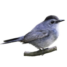 Funny Little Tit Bird Watercolor Illustration. Hand Drawn Realistic The Gray Catbird (Dumetella Carolinensis), Beautiful Bird On The Branch. Garden, Park, Forest Tiny Avian Sits On The Branch On White