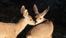 Two Mule Deer Fawns Share An Affectionate Moment.