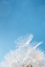 White Fluffy Dandelion In Sunlight On Blue Background. Bright Sunny Flower With Fly Seeds  Close Up.