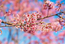 Closeup Of Wild Himalayan Cherry (Prunus Cerasoides) Or Thai Sakura Flower