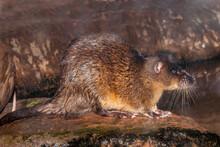 Australian Water Rat Or Rakali