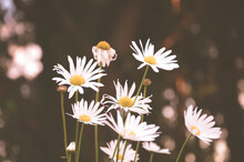 Selective Focus Of White Doll's Daisy Flowers Blooming In A Field Against A Blurred Background