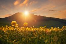 Living Carpet Of Yellow Flowers Trollius Europaeus On Sunset In Mountains