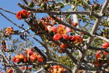 Blooming Cotton Tree (Bombax Ceiba, Malabar Silk-cotton Tree) With Red-yellow Flowers