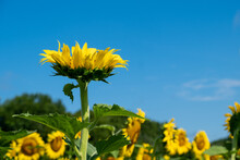 Single Sunflower Looking Up At A Deep Blue Sky In A Field Of Sunflowers