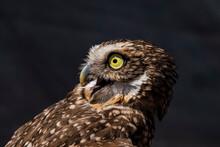 Burrowing Owl (Athene Cunicularia) Portrait In High Def