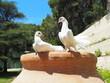 ptactwo ślubne ptaki miłość gołąb piękno