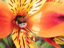 Bumble Bee In The Centre Of A Beautiful Orange Alstroemeria Lily Flower.