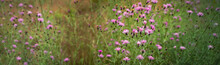 Soft Toned Purple Wild Plants In A Meadow. Thistle Flower Heads Blowing In The Wind, Close-up.
