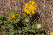 San Simeon, CA, USA - June 8, 2021: Pacific Ocean Coastline. Closeup Of Curlycup Gumweed Yellow Flowers In Different Age States With Green Leaves Against Brown Dry Weed.