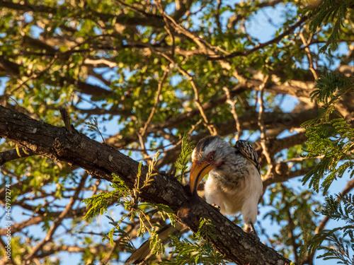 Fototapeta premium spotted woodpecker