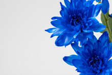 Blue Chrysanthemum Isolated On White With Copy Space. Close Up Of A Beautiful Daisy In A Deep Blue Color For A Spring Concept