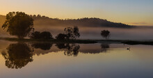 Black Swan At Early Misty  Sunrise With Reflecting Trees In Lake After Heavy Rain In The Chittering Valley, Western Australia