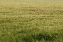 A Field Of Green, Slow-ripening Grain, Weeded With Poppies