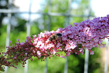 A Common Drone Fly Pollinating Buddleia Pink Flowers