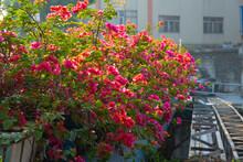 Beautiful Blooming Bougainvillea Spectabilis Willd