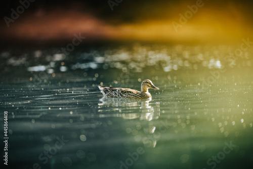 Leinwand Poster Duck Water Sunset