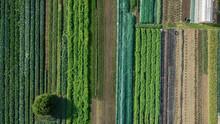 Bio Farmer Field Farming Vegetable Agricultural Farm Garden Plantation Fruit Tree Dron Aerial Video Shot Leaf Curly Cabbage Kale Winter Plant Leaves Organic Plantation Harvest Vegetables, Greenhouse