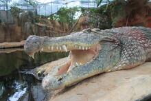 Crocodille Sunbathing