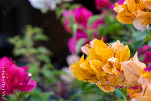 Canvas fresh orange and colorful bougainvillaea blooming in botany garden