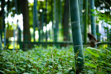 Beautiful Bamboo Forest At The Traditional Park Daytime Long Shot
