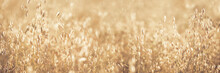 Oat Florets On Sunlit Golden Field Full Frame Background. Summer Or Autumn Grain Crop Season. Gluten. Wide Banner Monochrome