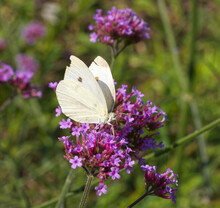 Pieris Brassicae, The Large White, Female Of Strong Flying Butterfly Feasting On A Purple Blossom Of Milkweeds.