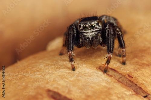 Canvastavla Beautiful nature scene with hairy arachnid who has big shining eyes