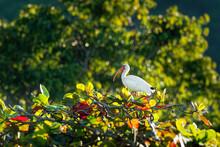 American White Ibis - Eudocimus Albus White Bird With Red Beak And Legs In Family Threskiornithidae, From Virginia Via Gulf Coast Of The United States Through Most Of The Coastal New World Tropics
