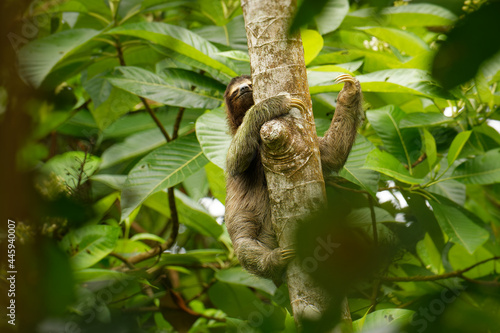 Fototapeta premium Brown-throated sloth - Bradypus variegatus species of three-toed sloth found in the Neotropical realm of Central and South America, mammal found in the forests of South and Central America