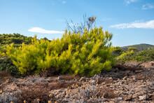Greece Prairie Terrain Landscape With Bright Vibrant Green Pine Bush. Scenic Blue Bright Sky. Natural South Europe Rocky Bushy View