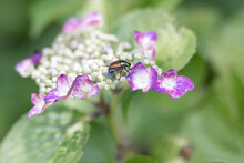 A Colorful Dogbane Beetle On A Purple Hydrangea Blossom With A Nicely Blurred Background.