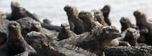 Panoramic Banner Of Galapagos Animals - Marine Iguana. Cute Amazing Wildlife Animals On Galapagos Islands, Ecuador