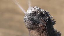 Galapagos Marine Iguana Sneezing Excreting Salt By Nose - Funny Animals