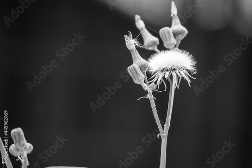 Fotografie, Obraz Sow Thistle common weeds in Nebraska with yellow flowers Sonchus oleraceus