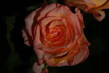 분홍생의 장미꽃