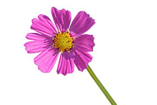 Pink Mexican Aster White Patterns Or Cosmos Flower Isolated On  White Background.