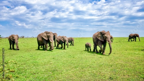 Photo A herd of wild African elephants (Loxodonta africana), including a mother and calf, marches across green plains in the Masai Mara National Reserve in Kenya