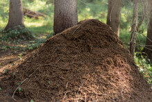 Big Ant Hill In Forest Of Karelia, Russia
