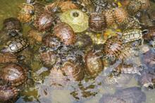 Groups Of Golden Tortoises In The Turtle Pond, Brazilian Tortoise