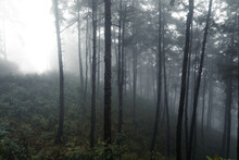 Forest In The Misty Rainy Day,ferns And Trees