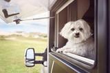 Fototapeta Big Ben - Dog looking out of camper van window