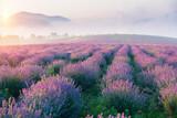 Lavender field summer sunset landscape with single tree near Valensole.Provence,France - 446026681
